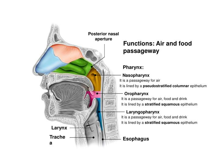 Posterior nasal