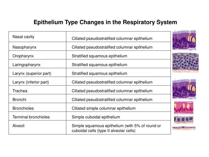 Epithelium Type Changes in the Respiratory System
