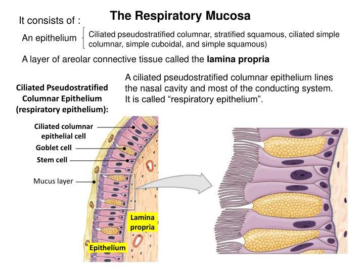 The Respiratory Mucosa