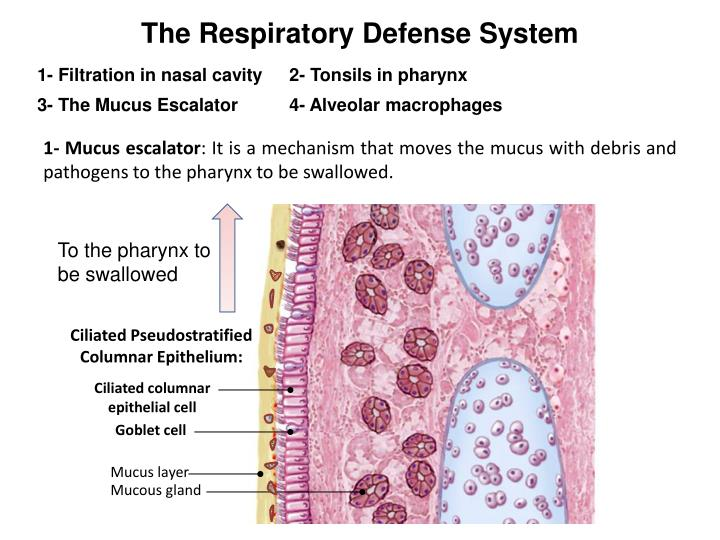 The Respiratory Defense System