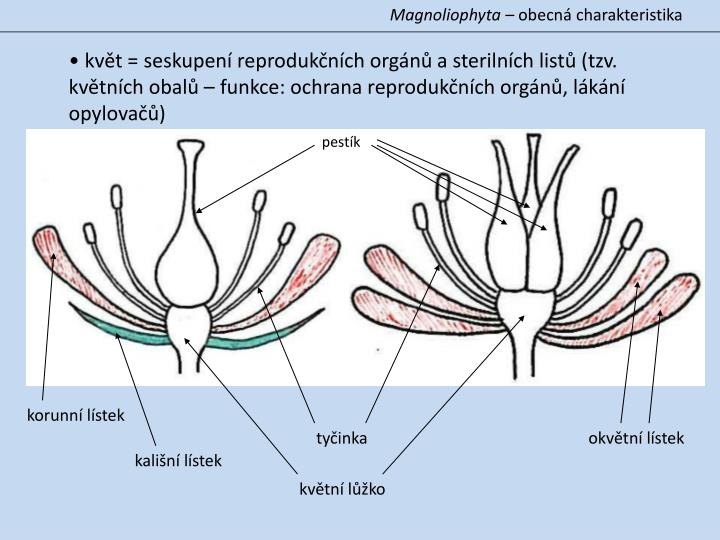 Magnoliophyta –