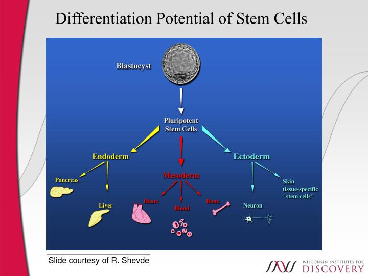 Differentiation Potential of Stem Cells