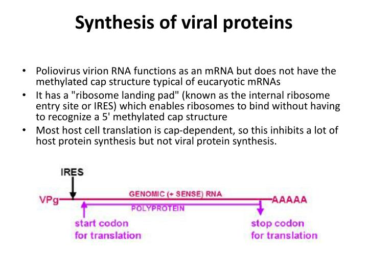 Synthesis of viral proteins