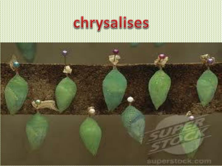 chrysalises