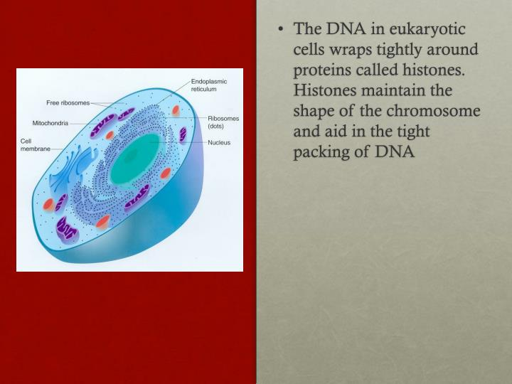 The DNA in eukaryotic cells wraps tightly around proteins called