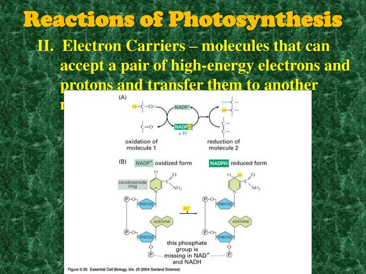II.  Electron Carriers – molecules that can accept a pair of high-energy electrons and protons and transfer them to another molecule (NADP