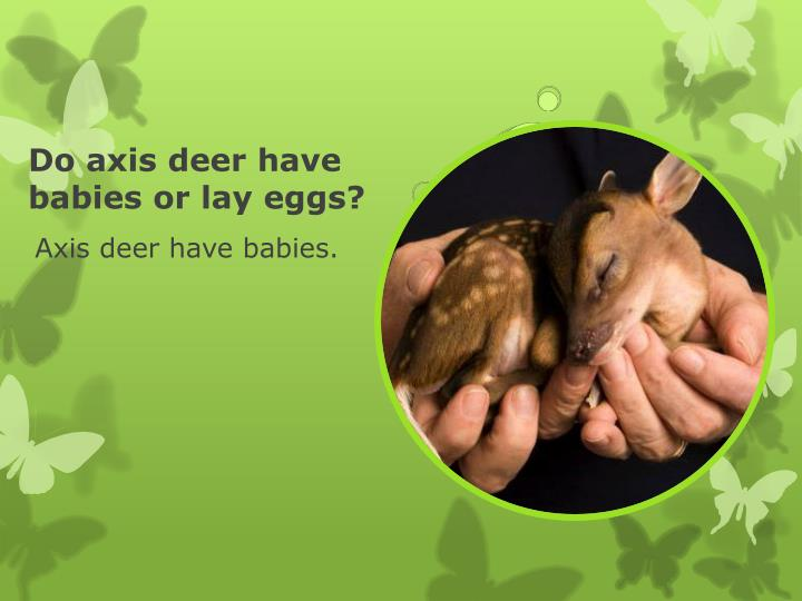 Do axis deer have babies or lay eggs?