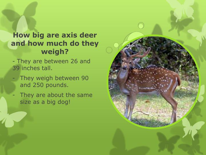 How big are axis deer and how much do they weigh?