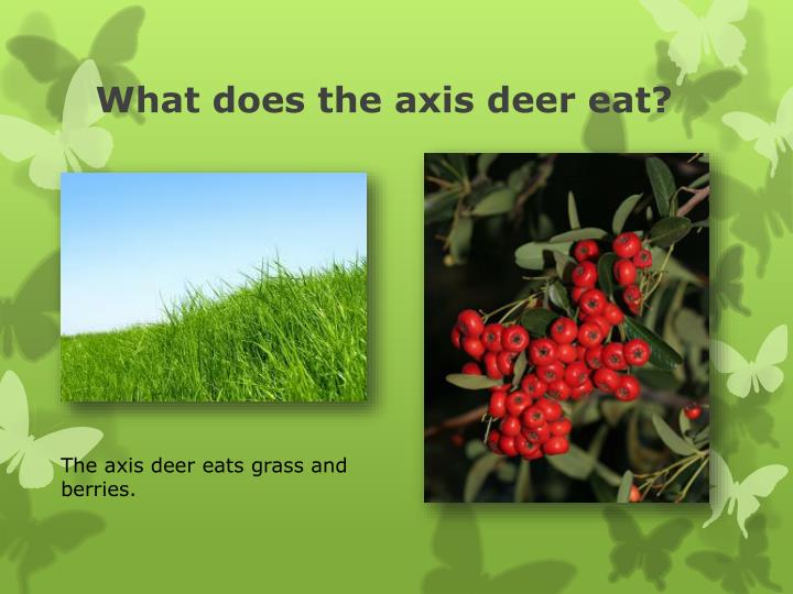 What does the axis deer eat?