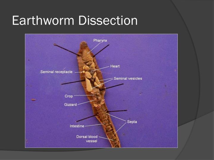 earthworm dissection powerpoint ppt annelids molluscs powerpoint presentation id 2277286