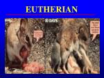 eutherian1