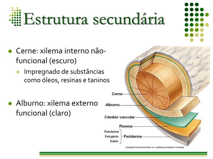 Cerne: xilema interno não-funcional (escuro)
