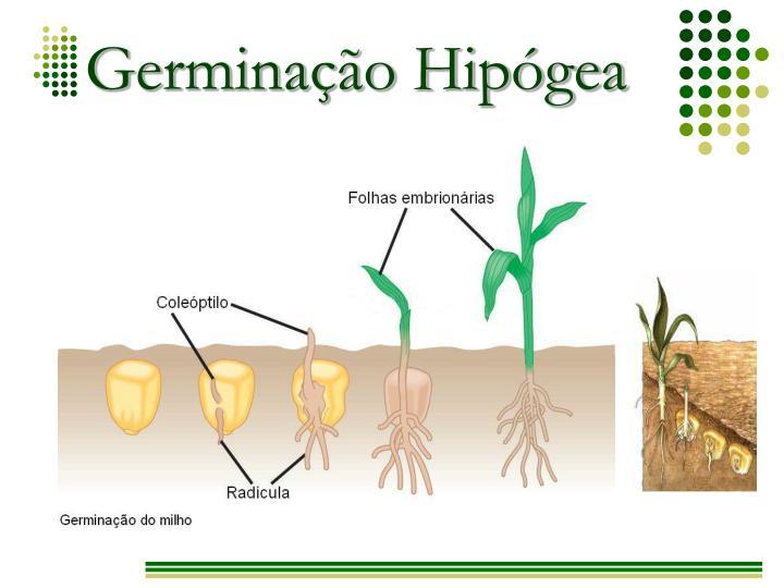 Germinação Hipógea