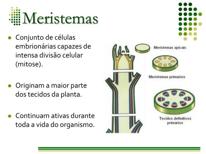 Conjunto de células embrionárias capazes de intensa divisão celular (mitose).