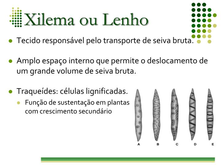 Xilema ou Lenho