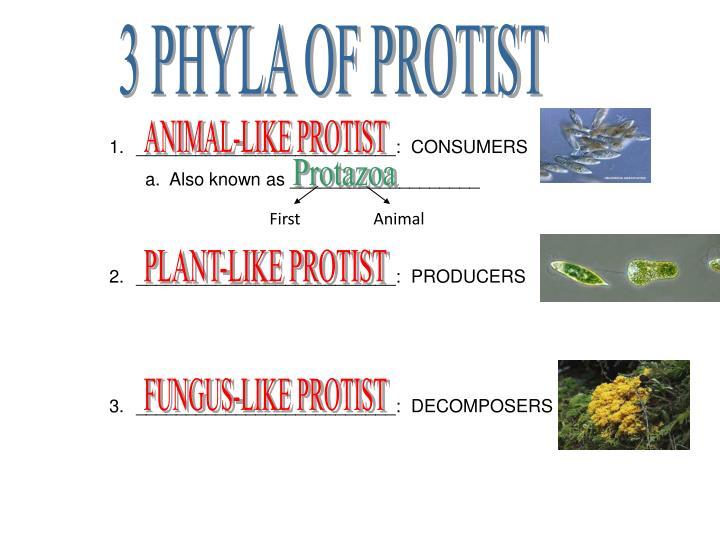 3 PHYLA OF PROTIST