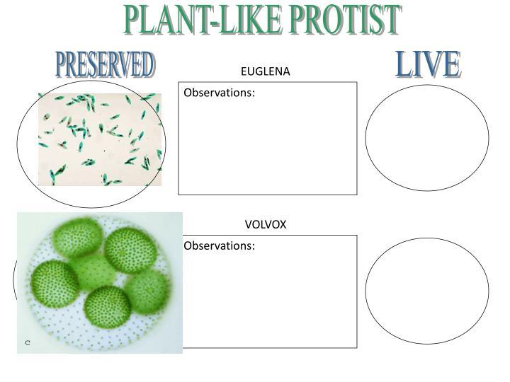PLANT-LIKE PROTIST