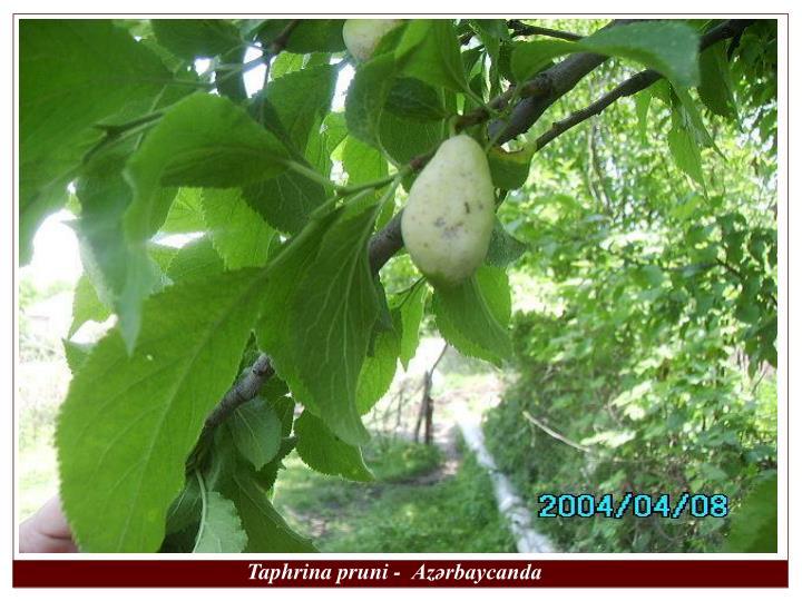 Taphrina pruni -  Azərbaycanda