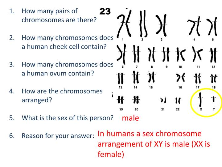 How many chromosomes are in a sex cell lesbian picture 24
