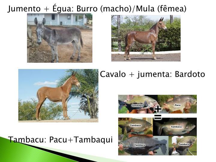 Jumento + Égua: Burro (macho)/Mula (fêmea)