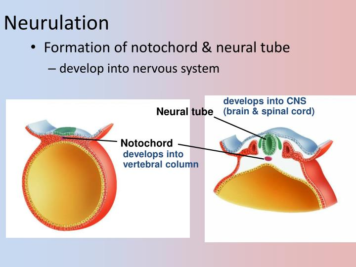 Neurulation