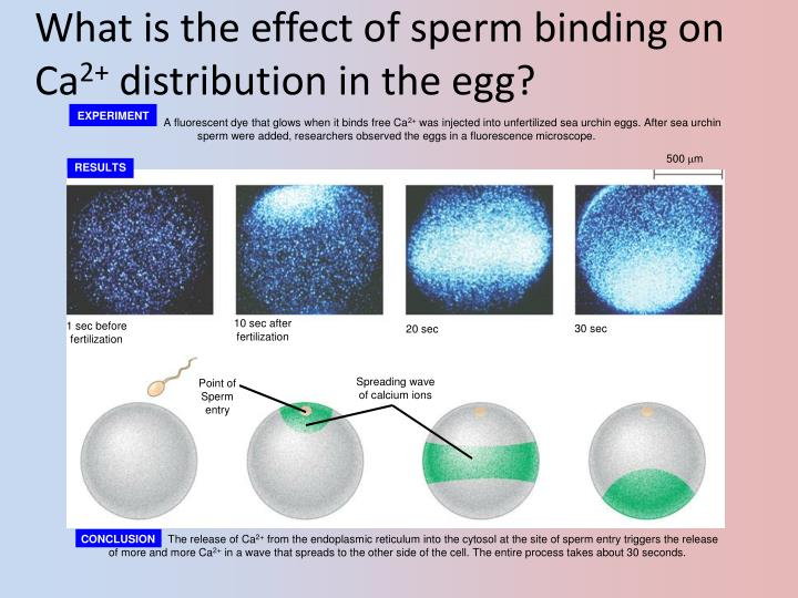 What is the effect of sperm binding on Ca