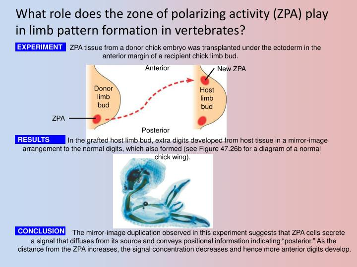 What role does the zone of polarizing activity (ZPA) play in limb pattern formation in vertebrates?