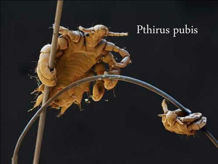 Pthirus