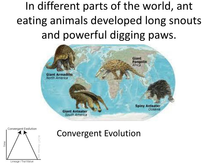 In different parts of the world, ant eating animals developed long snouts and powerful digging paws.