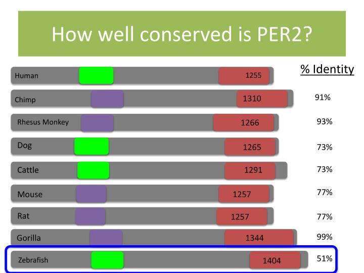 How well conserved is PER2?