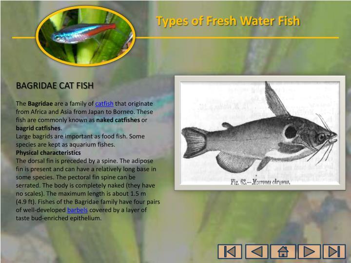 BAGRIDAE CAT FISH