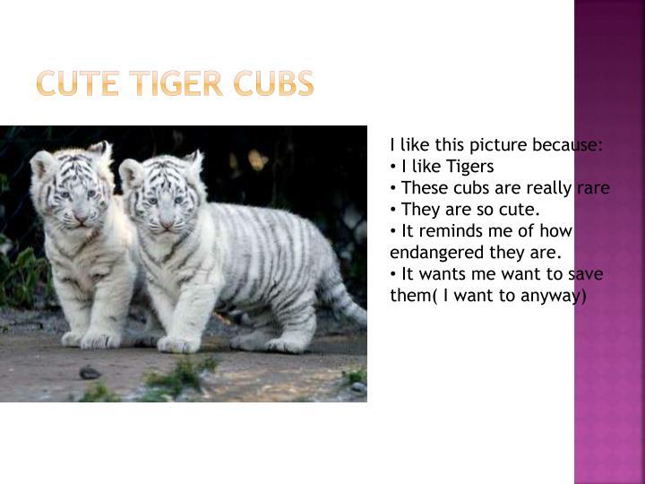Cute tiger Cubs