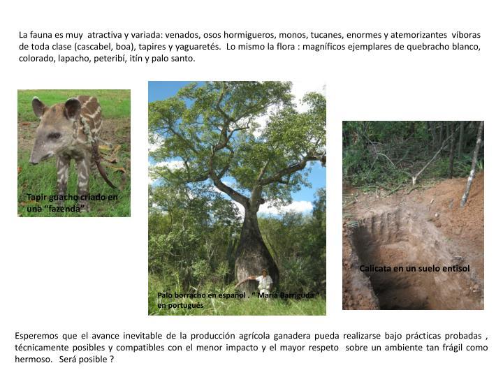 La fauna es muy  atractiva y variada: venados, osos hormigueros, monos, tucanes, enormes y atemorizantes