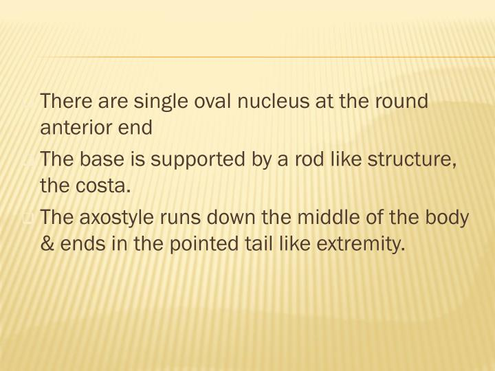 There are single oval nucleus at the round anterior end