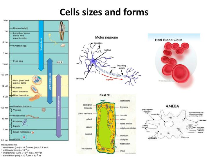 Cells sizes and forms