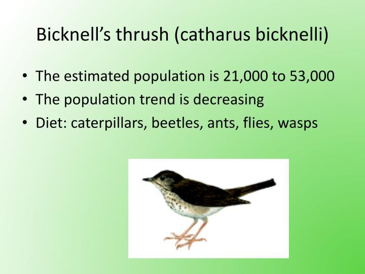 Bicknell's thrush (catharus bicknelli)