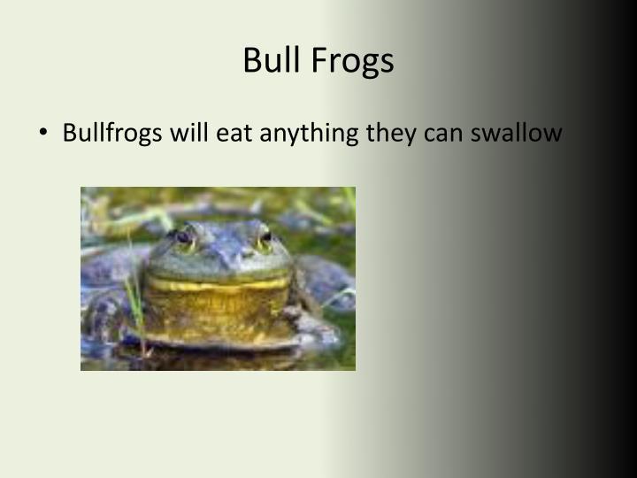 Bull Frogs