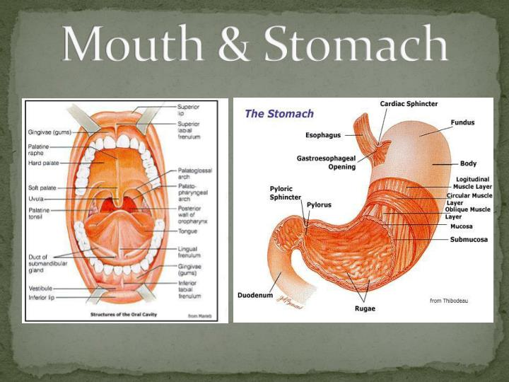 Mouth & Stomach