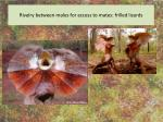 rivalry between males for access to mates frilled lizards