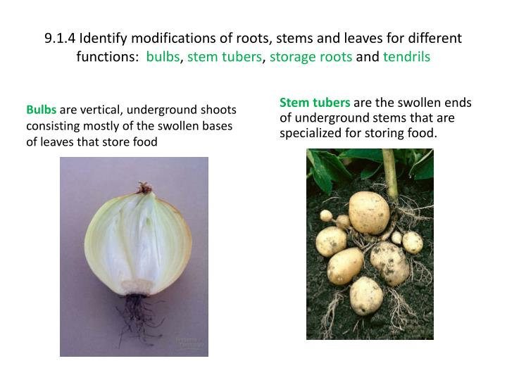 9.1.4 Identify modifications of roots, stems and leaves for different functions: