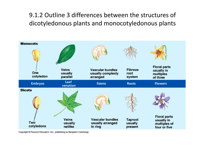 9.1.2 Outline 3 differences between the structures of dicotyledonous plants and monocotyledonous pla...