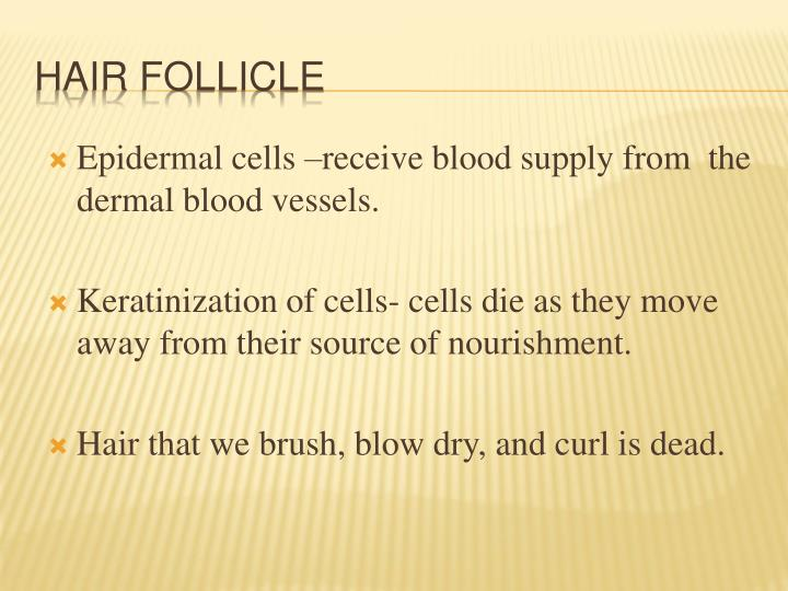 Epidermal cells –receive blood supply from  the dermal blood vessels.