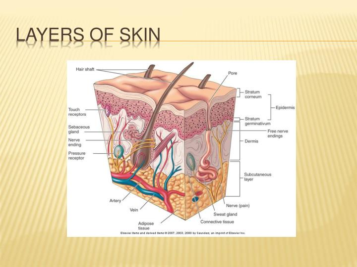 Layers of skin