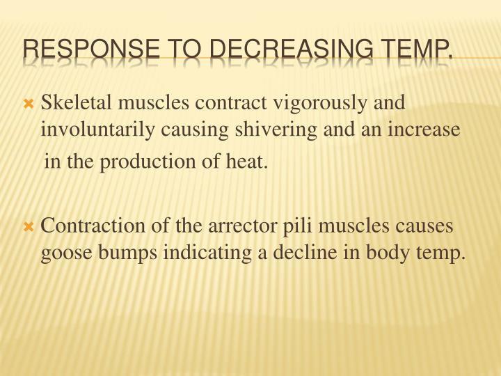 Skeletal muscles contract vigorously and involuntarily causing shivering and an increase