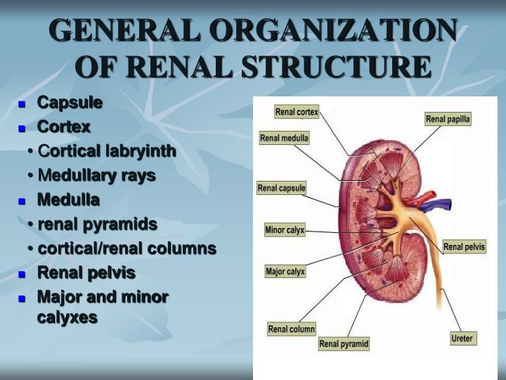 General organization of renal structure