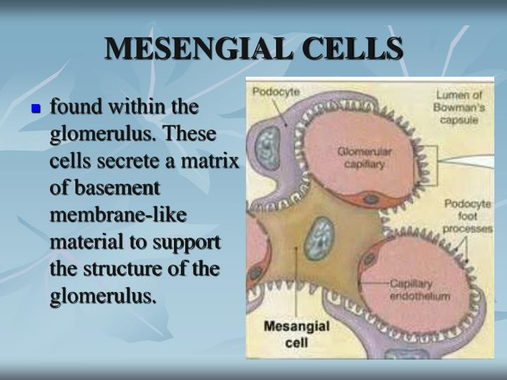 MESENGIAL CELLS