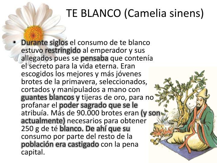 TE BLANCO (Camelia