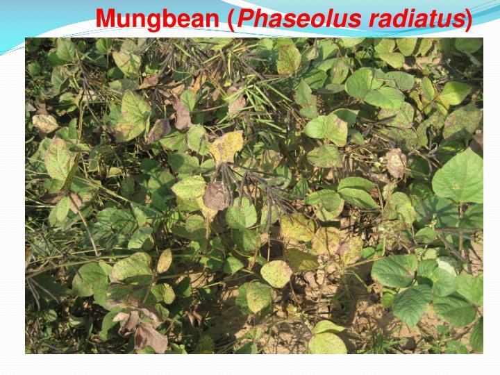 Mungbean (
