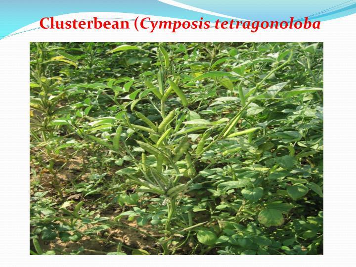 Clusterbean