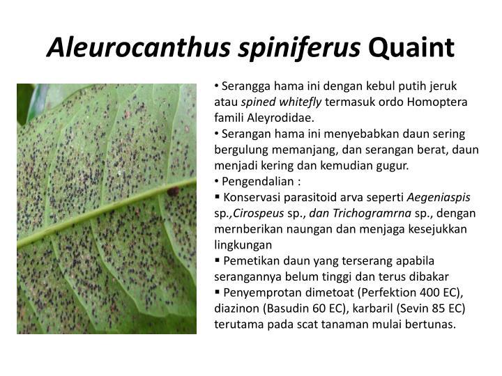 Aleurocanthus